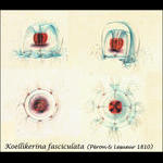 The first species described from the Bay of Villefranche - Koellikerina fasciculata