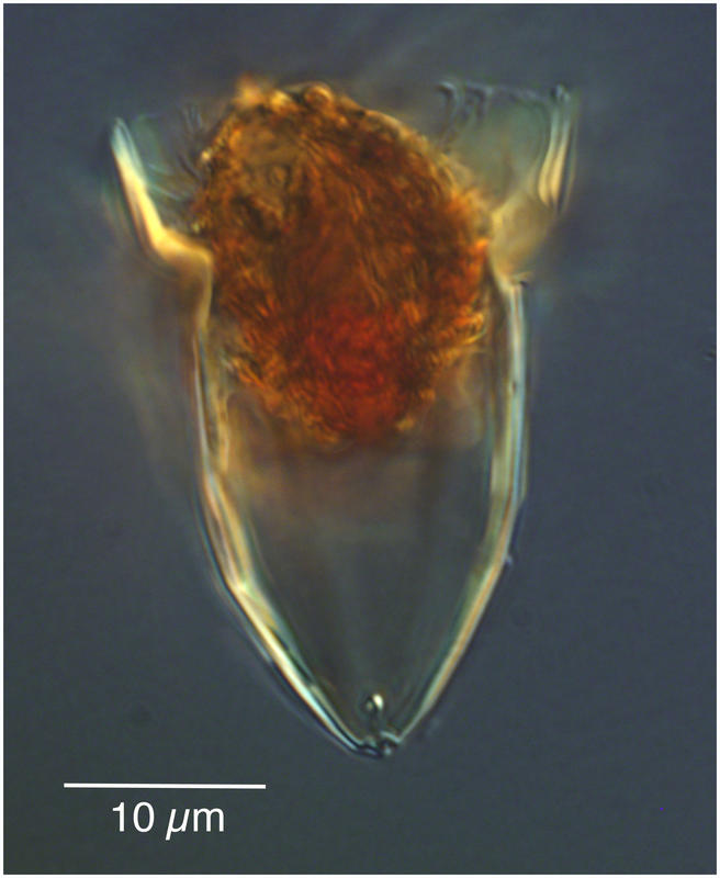 Tiny Ormosella Species