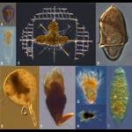 Microzooplankton of Villefranche