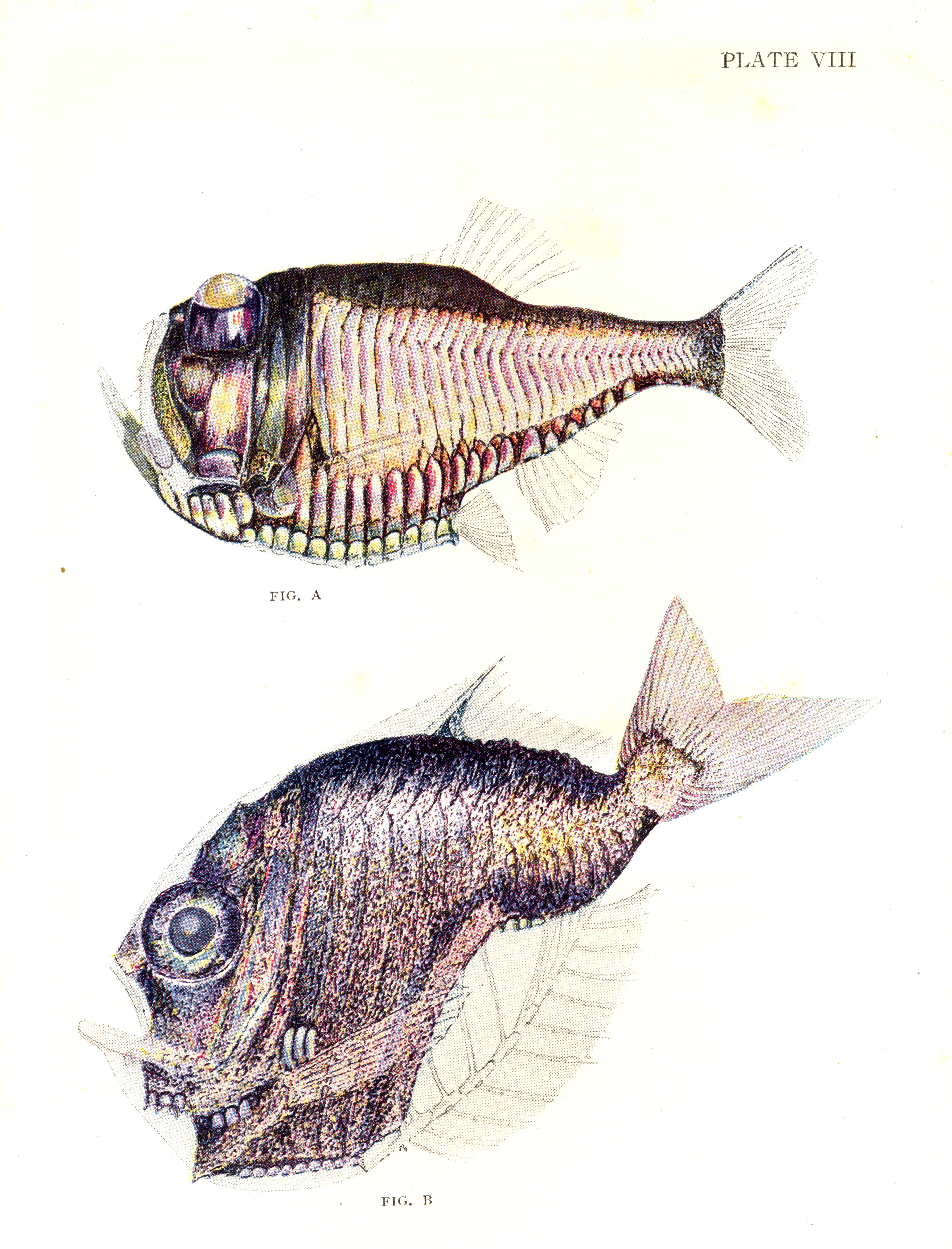 Fig. A. Argyropelecus. A luminescent deep-sea fish with eyes directed upward. Fig. B. Sternoptyx. A common Deep-sea fish.