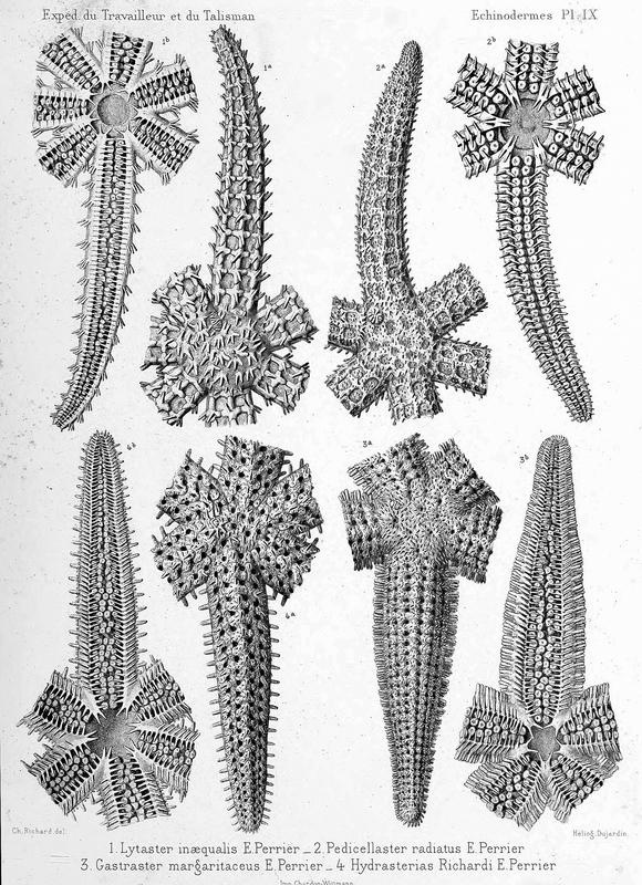 From Perrier's monograph on the echinoderms of the expeditions