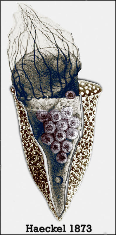 Ernst Haeckel was the first to depict dinoflagellate parasites in a tintinnid ciliate. He thought the ciliate was forming embryo