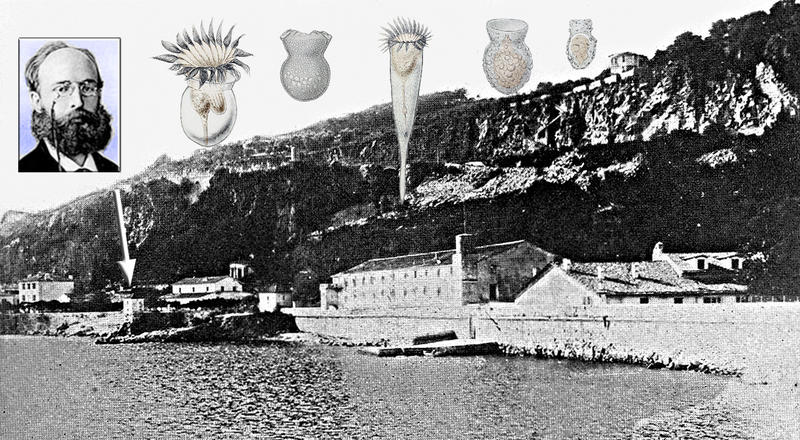 Tintinnid Species Discovered in Villefranche by Hermann Fol