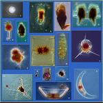 Planktonic Protists