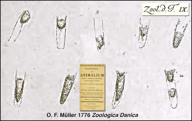 "The first description of a tintinnid species was in Otto Fredrick Müller's ""Zoologica Danica"" published in 1776."
