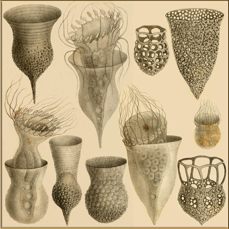 Tintinnids of Ernst Haeckel