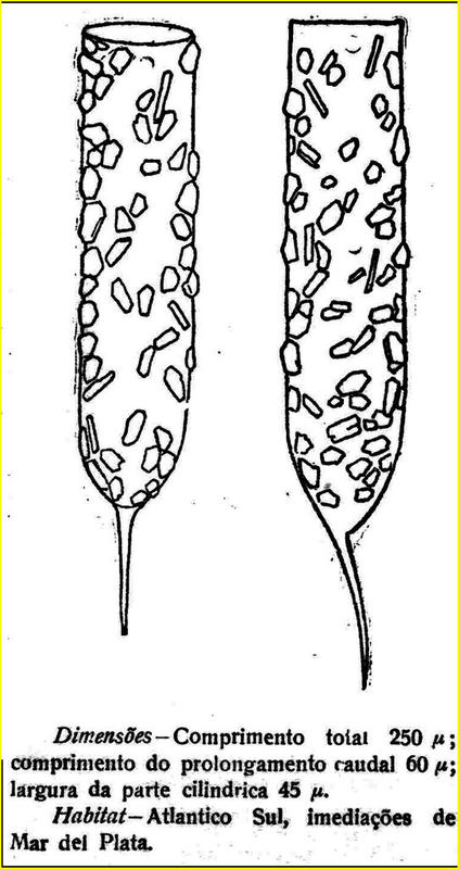 Drawing from the species description (as Tintinnopsis platensis) of Stylicauda platensis by Cuhna and Fonseca 1917.