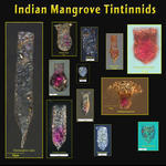 Indian Mangrove Tintinnids