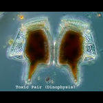 Pair of toxic dinoflagellates