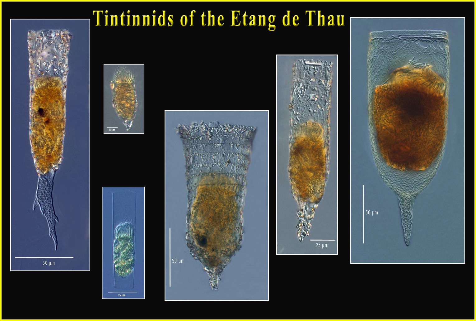 Tintinnids of the Thau Lagoon (Sète, France)