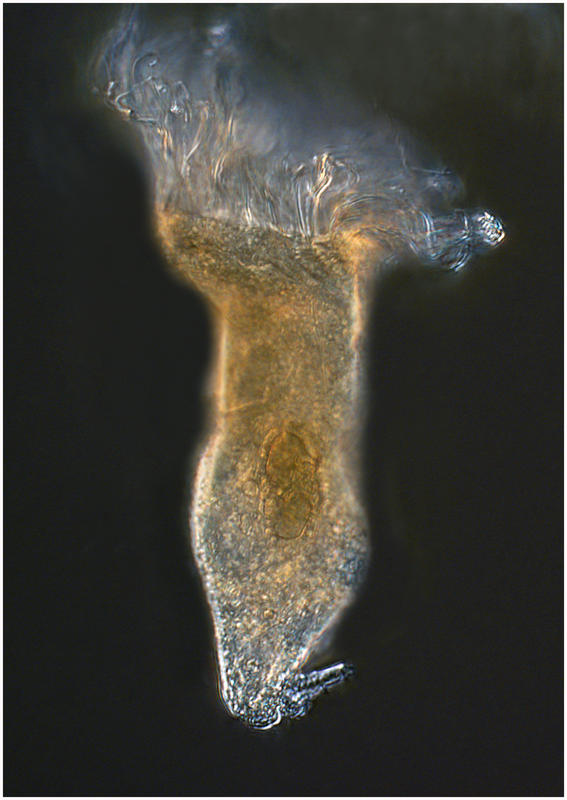 Oligotrich ciliate from the Southern Ocean