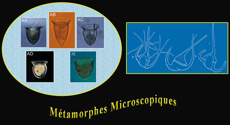 Métamorphes Microscopic Shape Shifters