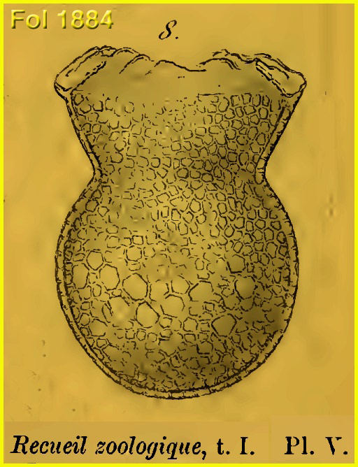 Drawing of Codonaria cistellula from the original species description in Fol 1884.